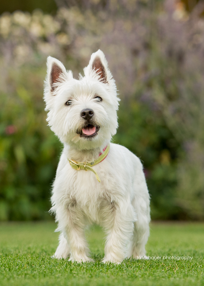 West.highland.terrier.posing