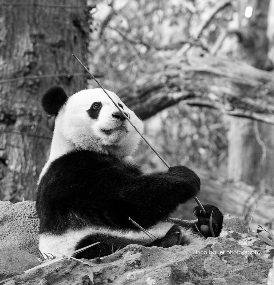 Giant.Panda.eating.Smithsonian.zoo