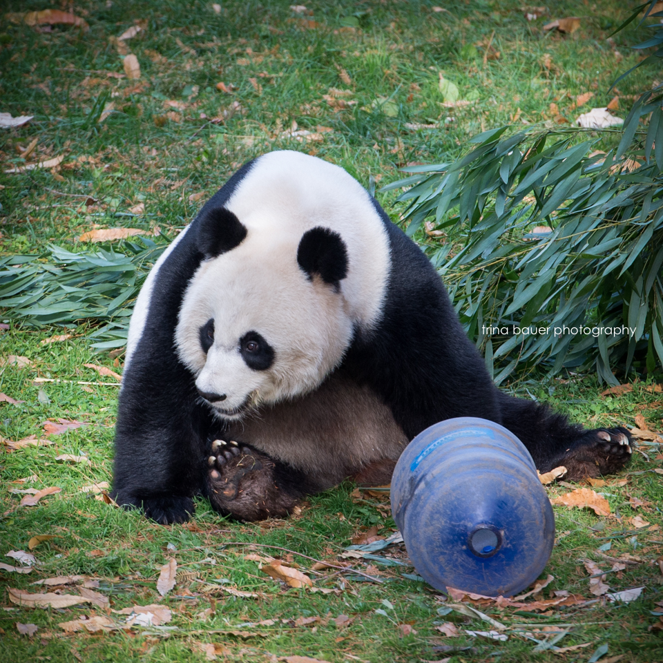 Giant.panda.playing.National.zoo