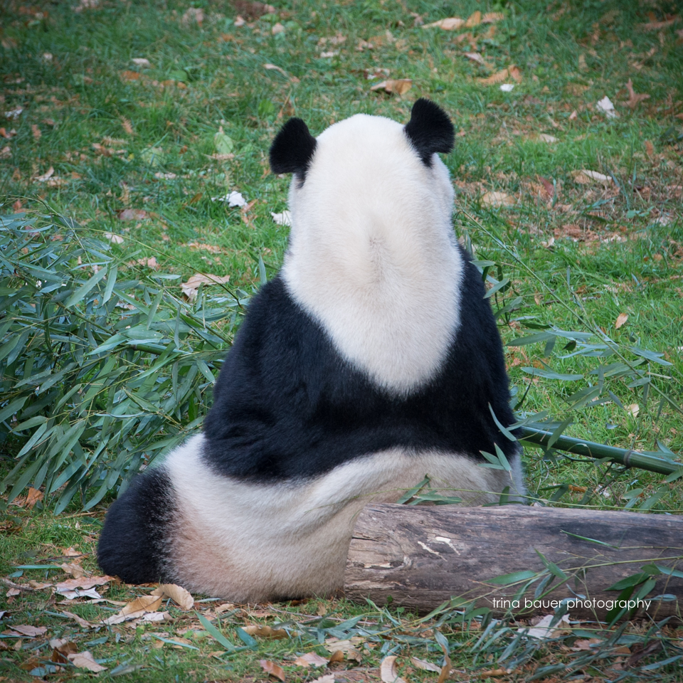 Giant.Panda.backside.eating.Washington.DC