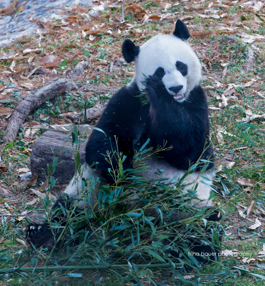 Washington.DC.zoo.Panda.Bear