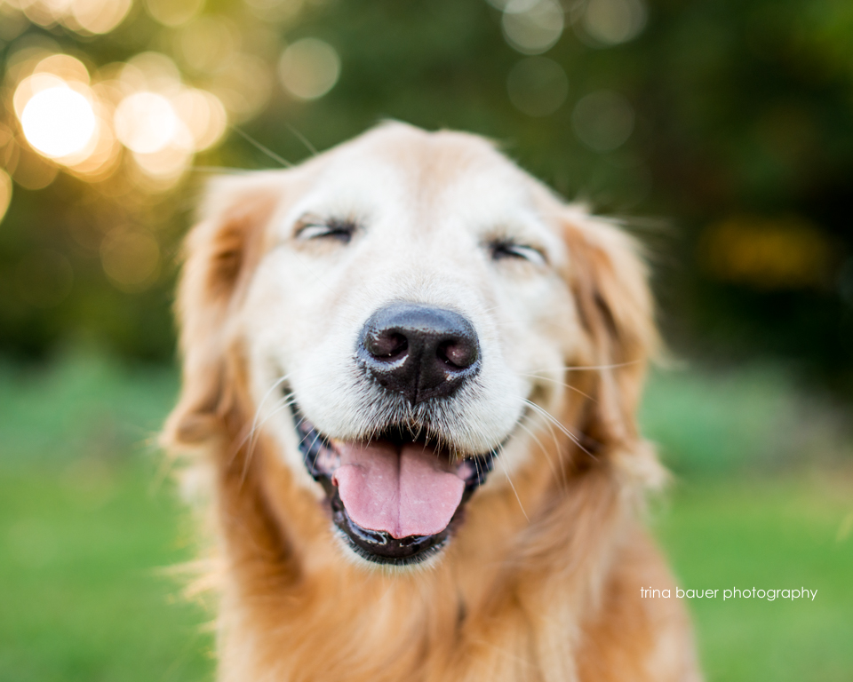 Izzy.golden.retriever.smile.love
