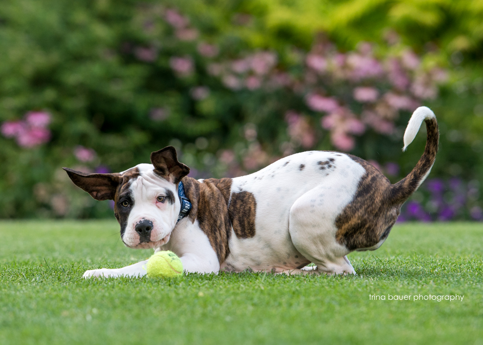 pitbull.mix.puppy.goofy.tennis.ball