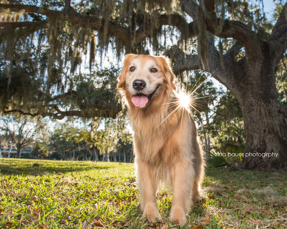 Spanish.moss.tree.golden.retriever.backlight