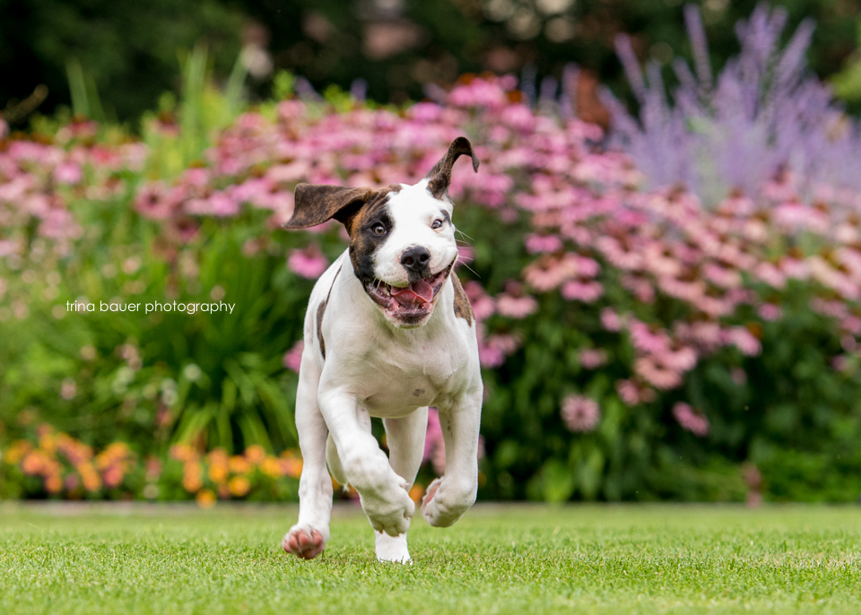 bully.mix.puppy.running.summer.flowers