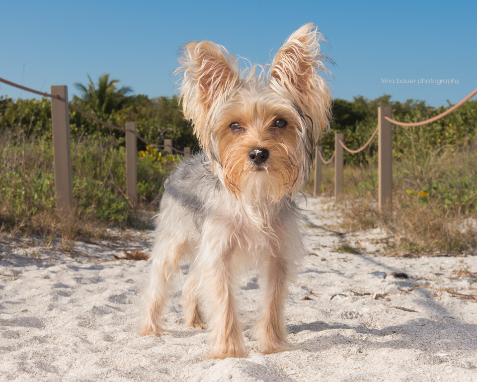 yorkie.beach.Sanibel.Island