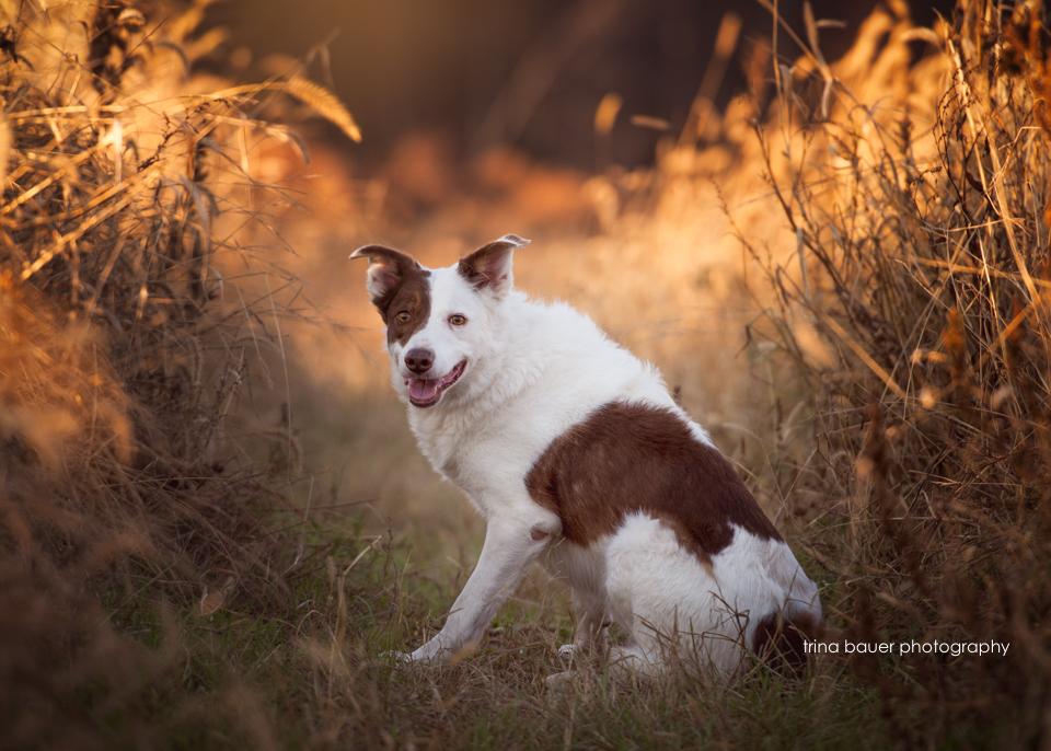 border.collie.fall.sunset.sorghum.field