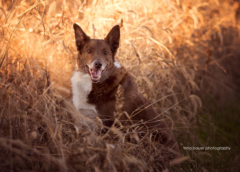 border.collie.fall.sorghum.field