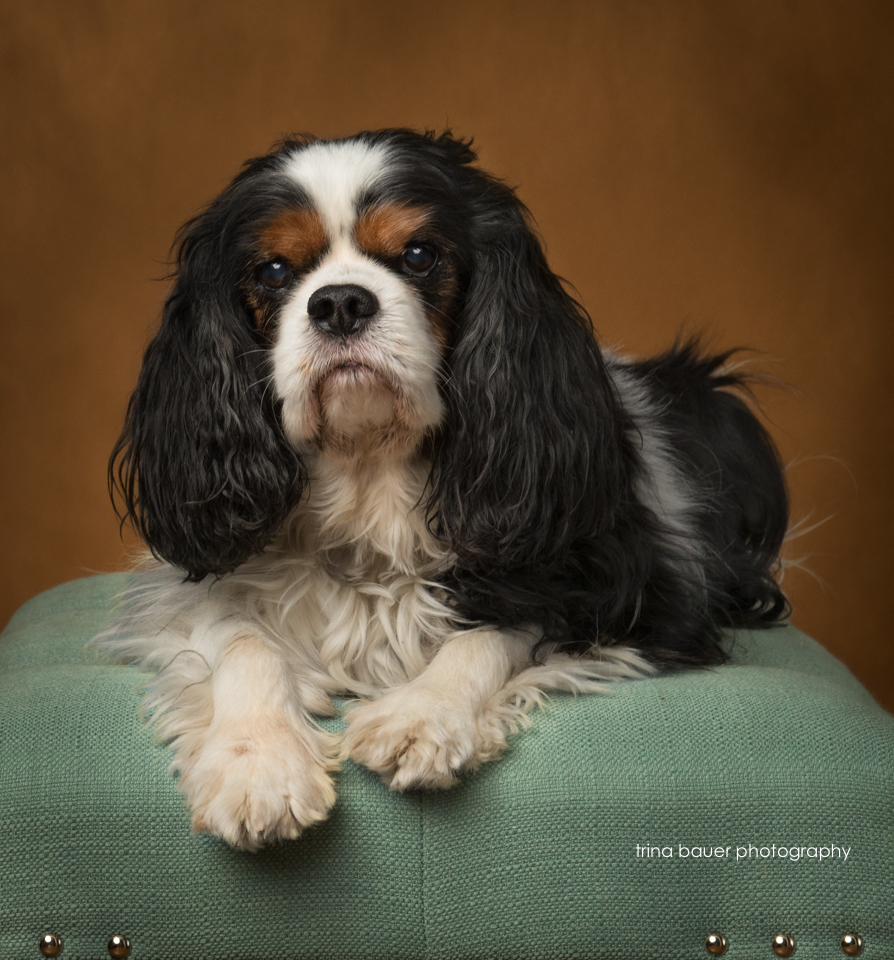 king.charles.cavalier.sitting.on.bench