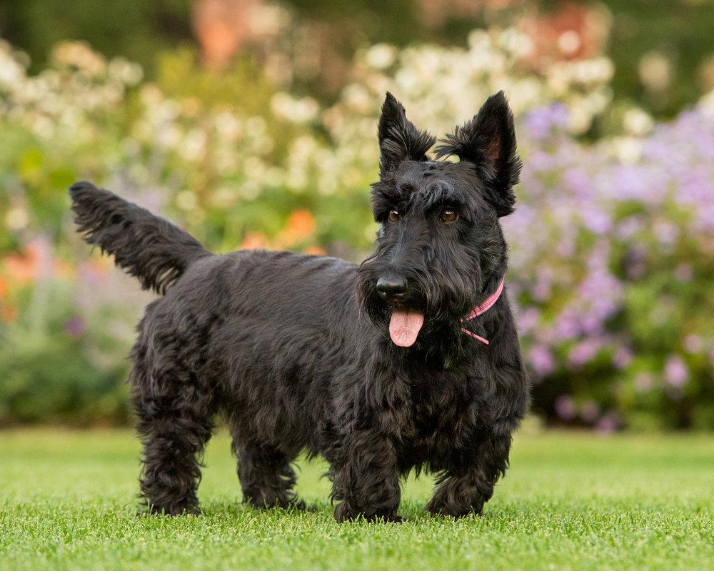 scottish.terrier.summer.gardens.jpg