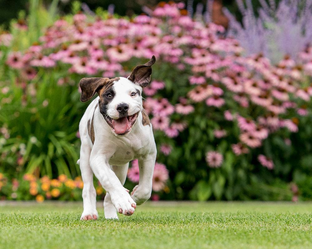 bulldog.puppy.running.summer.flowers.garden.jpg