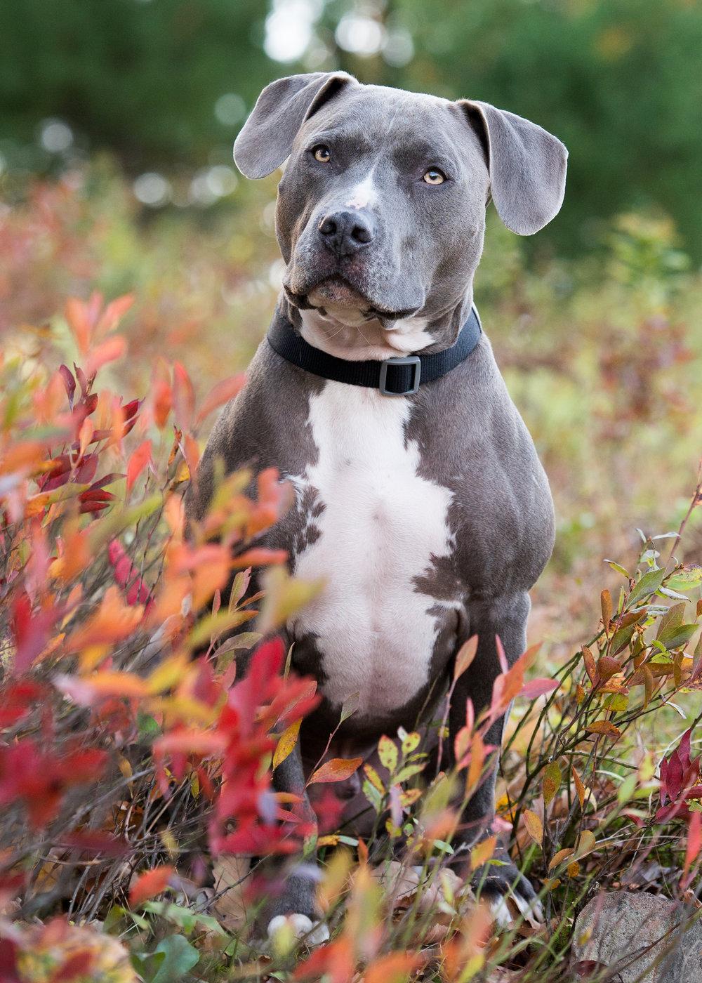 pit.bull.fall.foliage