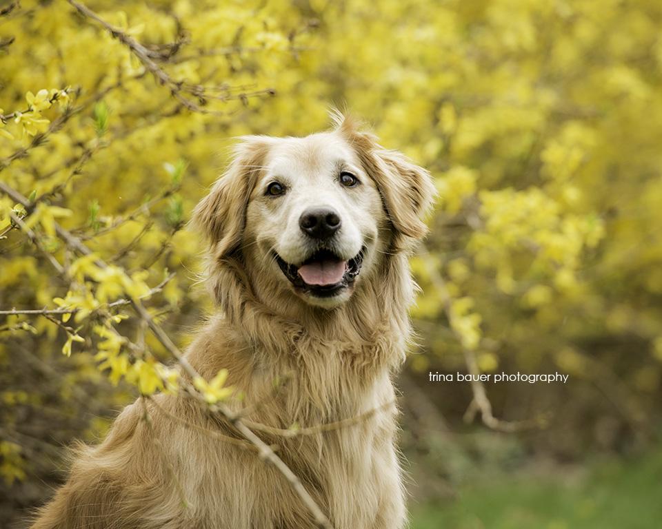 golden.retriever.forsythia