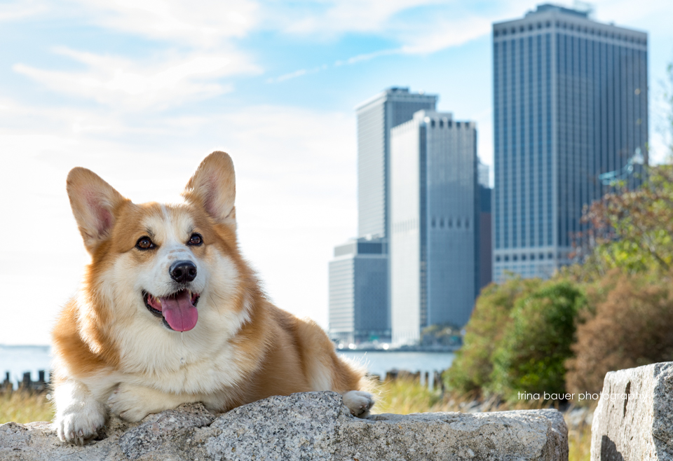 corgi.new.york.city.skyline