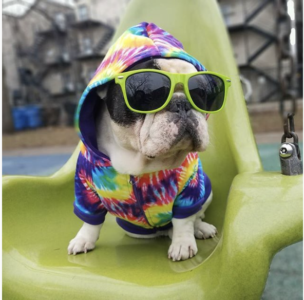 Manny.the.frenchie.instagram