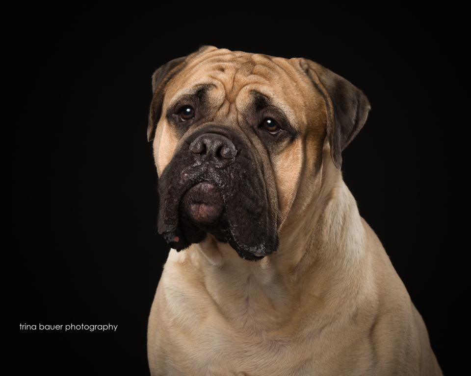 bull.mastiff.black.backdrop