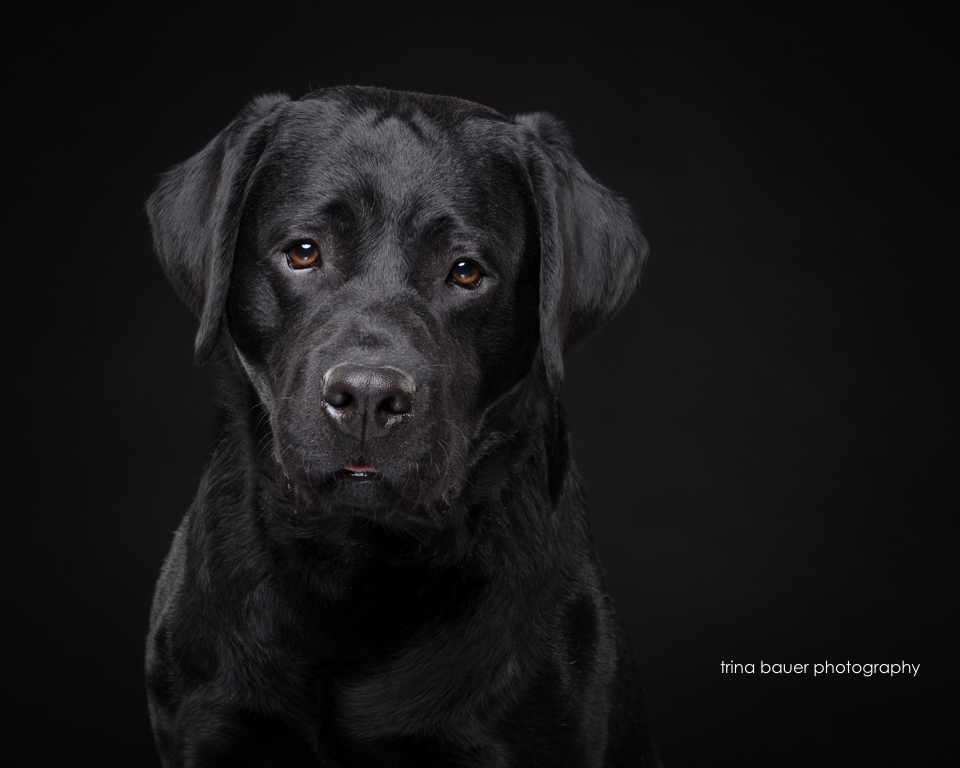 black.lab.black.backdrop