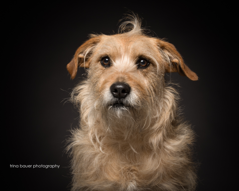 terrier.mix.black.backdrop