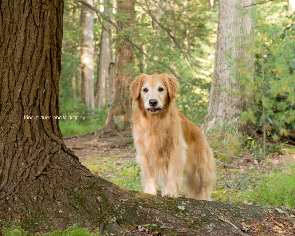 Golden retriever in Rothrock Forest
