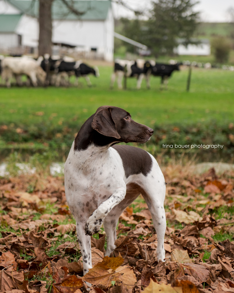 German shorthair pointer with cows