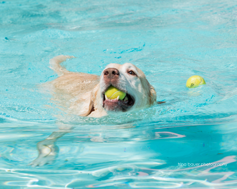 labrador swimming in pool with tennis balls