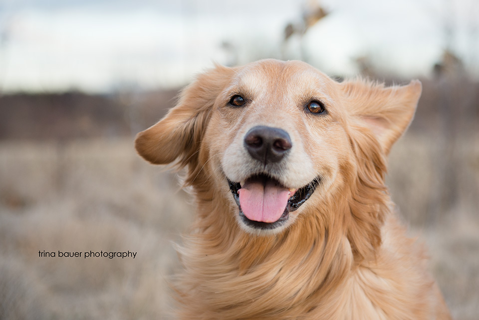 golden retriever ears blowing in the wind
