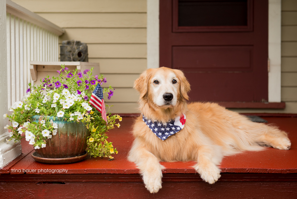 golden retriever on 4th of July