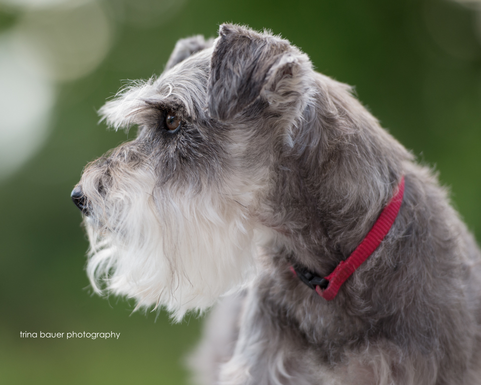 Hazel  the mini schnauzer