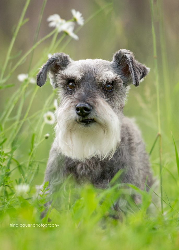 Hazel mini schnauzer in summer field