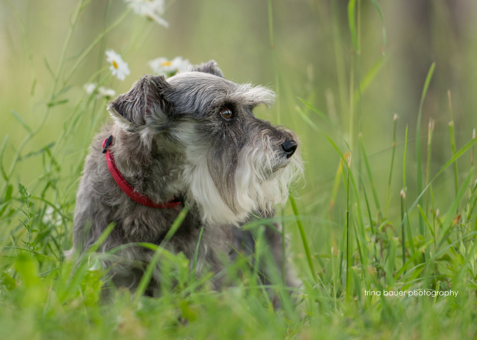 mini schnauzer and wildflowers