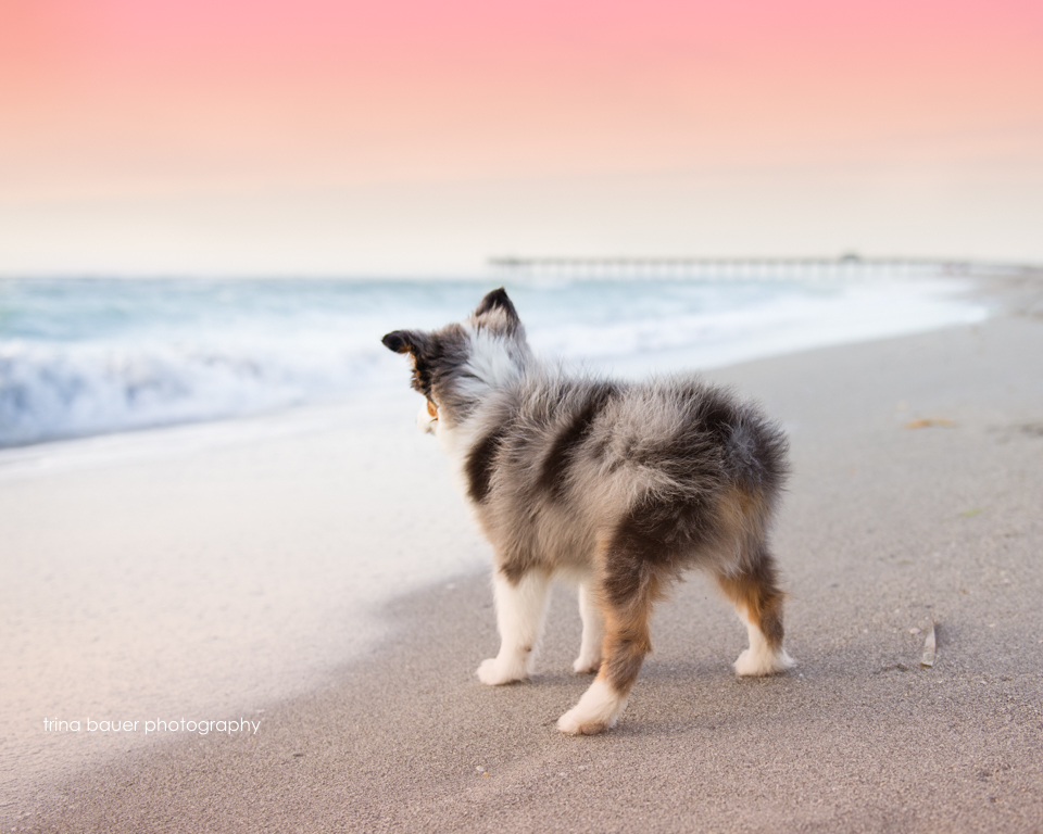 Australian shepherd puppy on Venice beach