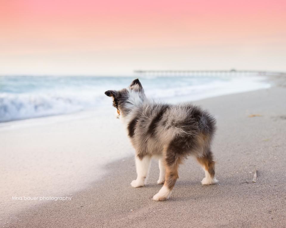 Australian shepherd puppy on Venice beach