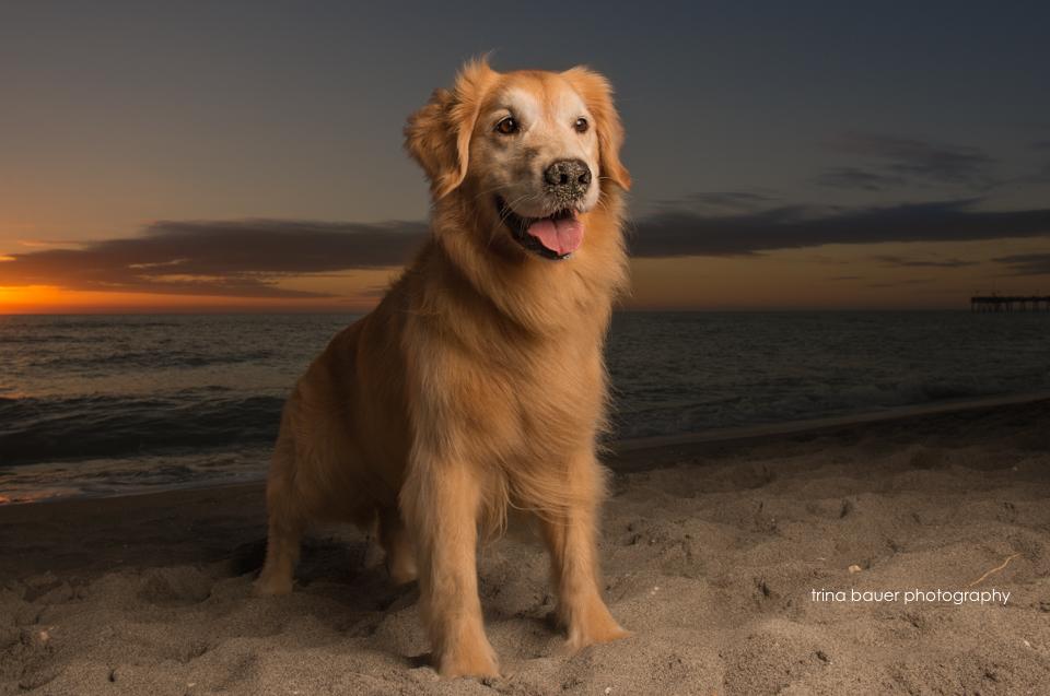 golden retriever on beach at sunset