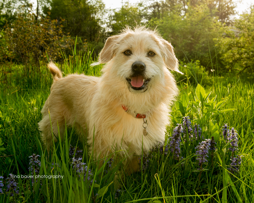 terrier mix in field of spring flowers