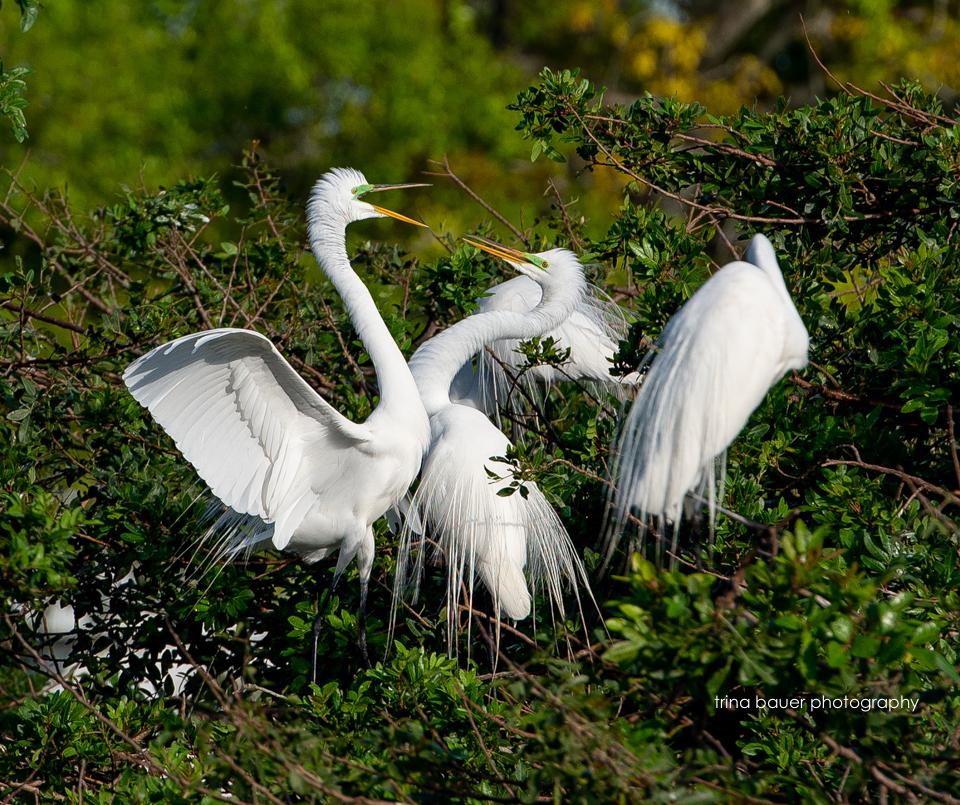 snowy egrets mating season