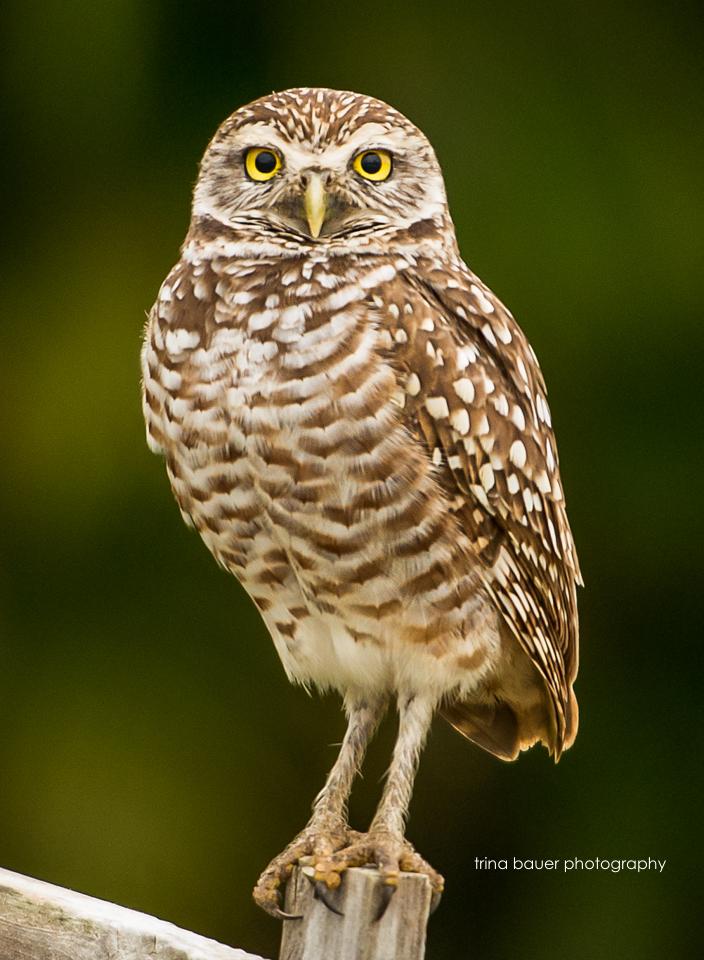 burrow owl southwest FL