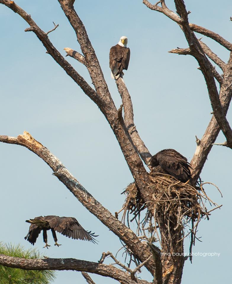 bald eagle juveniles and mom