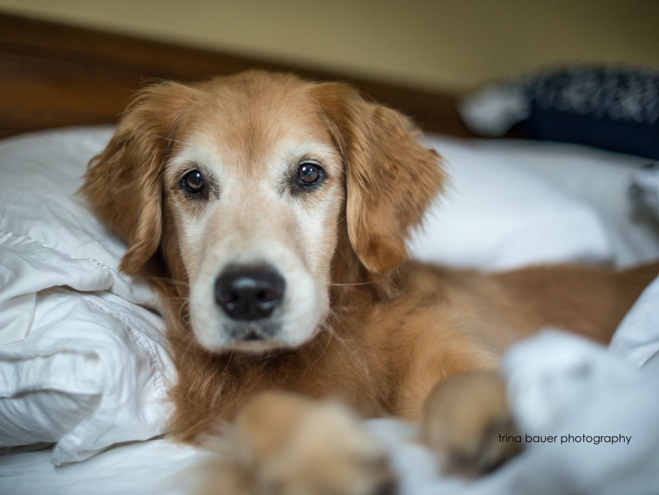 golden retriever in bed