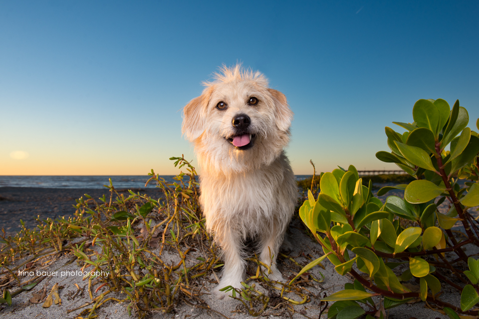 terrier mix on Florida beach