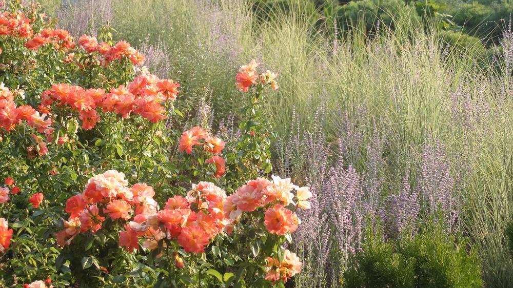 05 GGN rose Lakeshore E.jpg