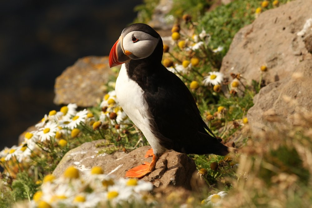Iceland_August_Puffins