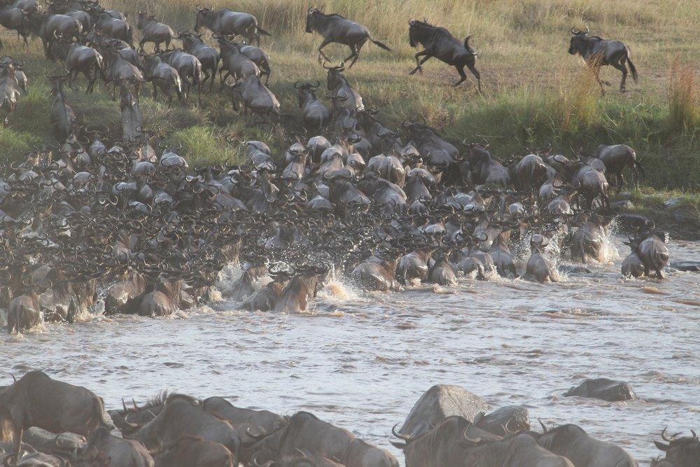 wildebeest-migration-2322110_1920.jpg