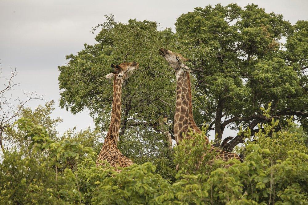 giraffe-2112414_1920.jpg