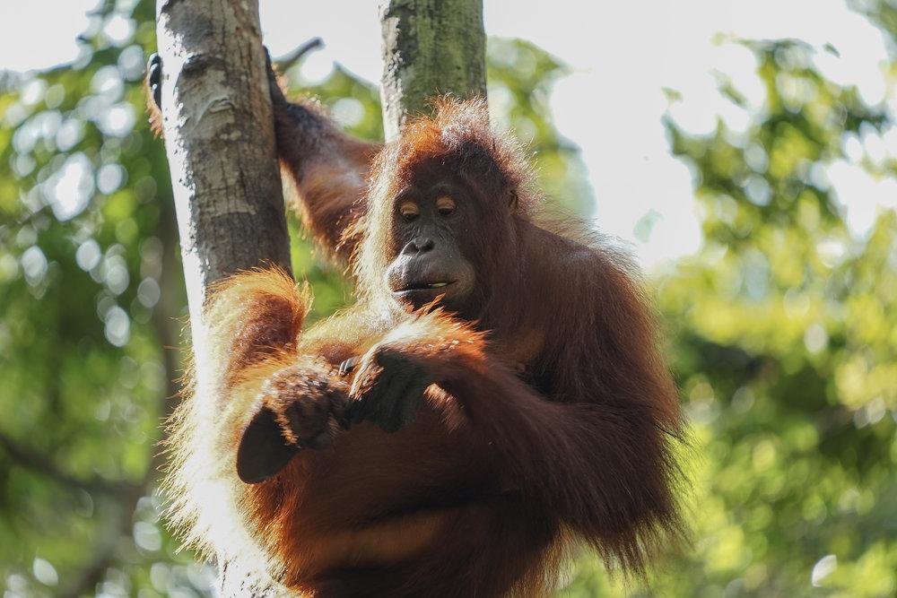 Orangutan tree.jpg