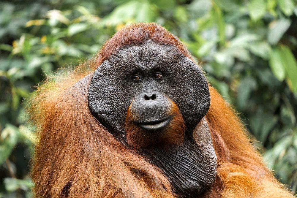 Orangutan Sumatra.jpg