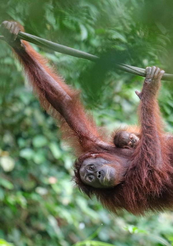 Indonesia Orangutan.jpg
