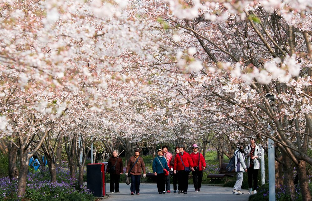 cherry-blossom-2722418_1920.jpg