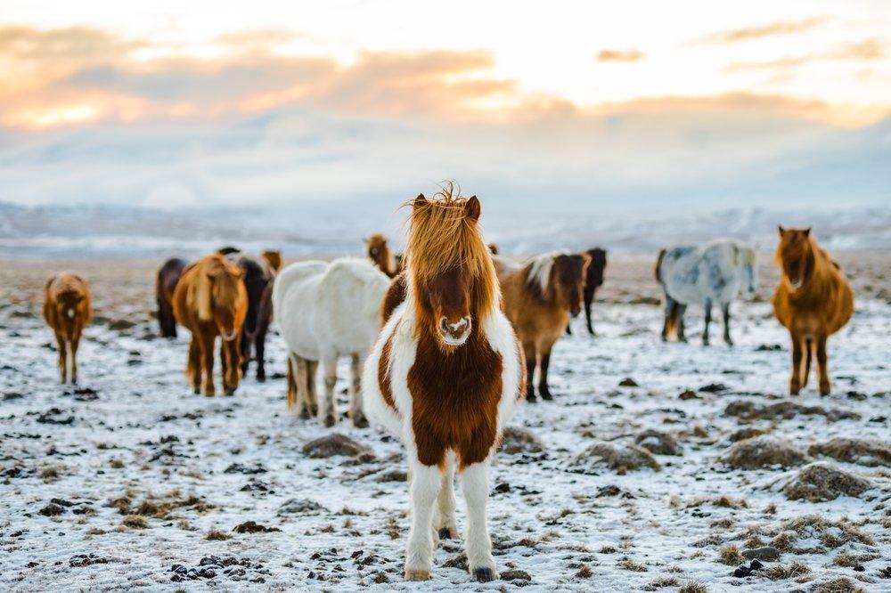 Iceland Horses.jpg