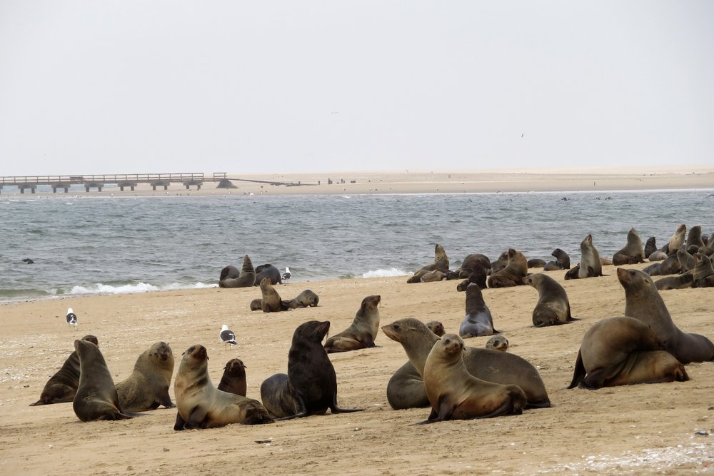Cape Cross Sea Lions.jpg