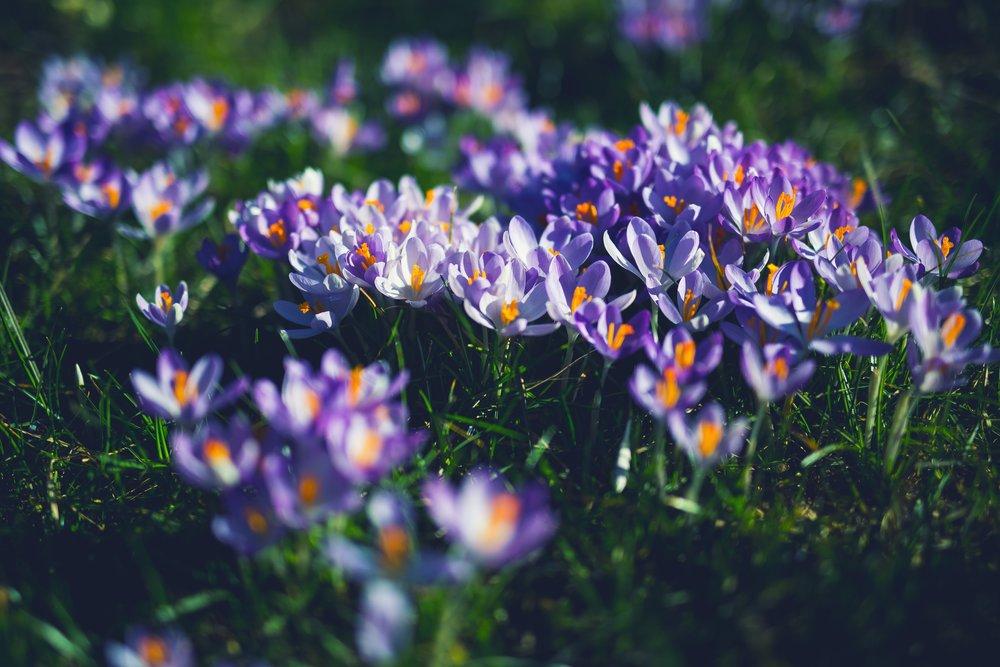 Wild Crocus flowers.